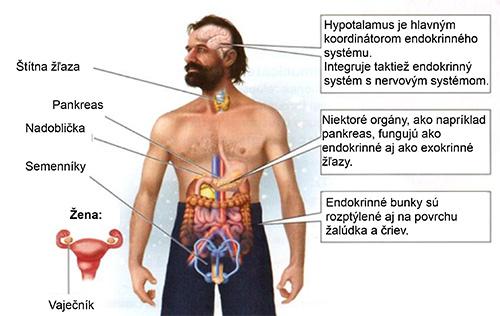 Endokrinný systém a Wim Hof.