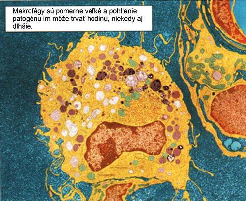 Makrofágy v ľudskom tele.