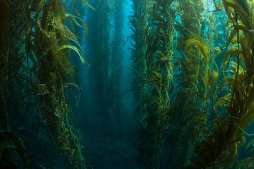 Kelp - minerálna pomoc štítnej žľaze