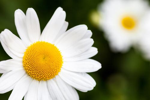 Margaréta biela - Nielen pekná, ale aj liečivá