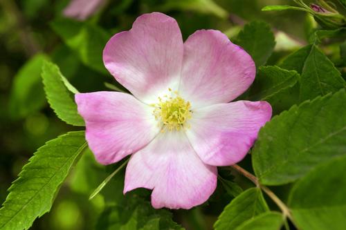 Ruža - Kráľovná kvetov