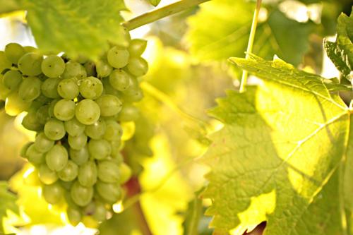 Vinič - Sprevádza ľudstvo už tisícky rokov