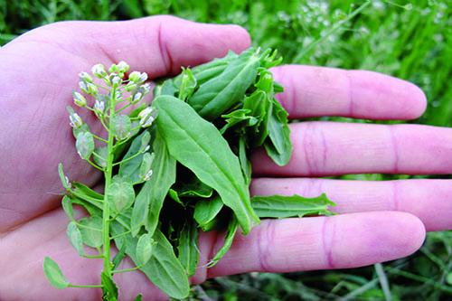 Peniažtek roľný - Irokézska bylinka