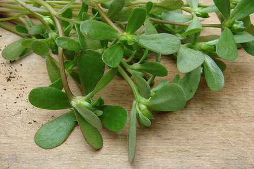 Portulaka zeleninová - Veľmi zdravá burina