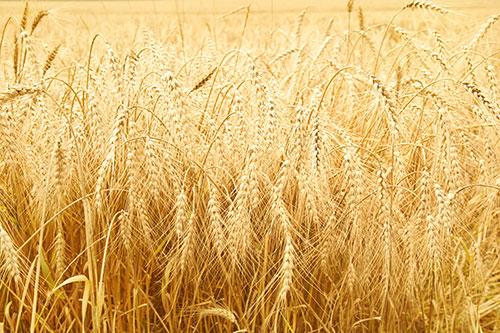 Život bez pšenice